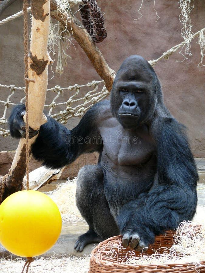 Macho do gorila fotografia de stock royalty free
