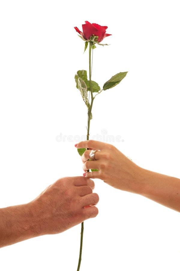 Macho e preensão fêmea uma única Rosa vermelha da devoção imagens de stock royalty free
