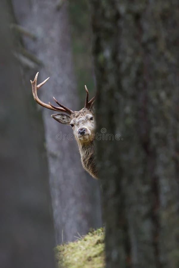 Macho en Cairngorms, Escocia de los ciervos comunes imagen de archivo