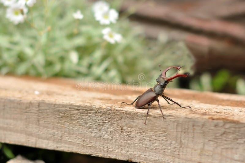 Macho-escarabajo Imagen de archivo