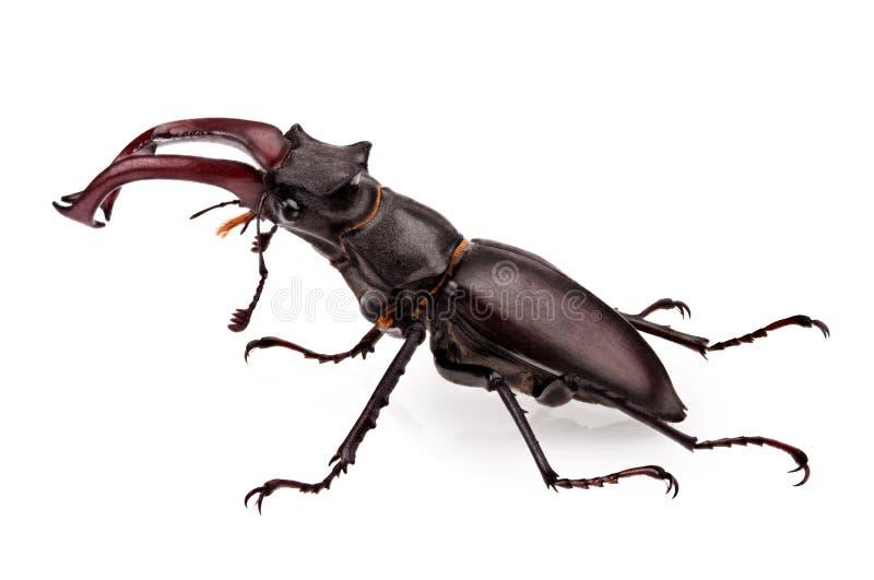 Macho-escarabajo fotos de archivo libres de regalías
