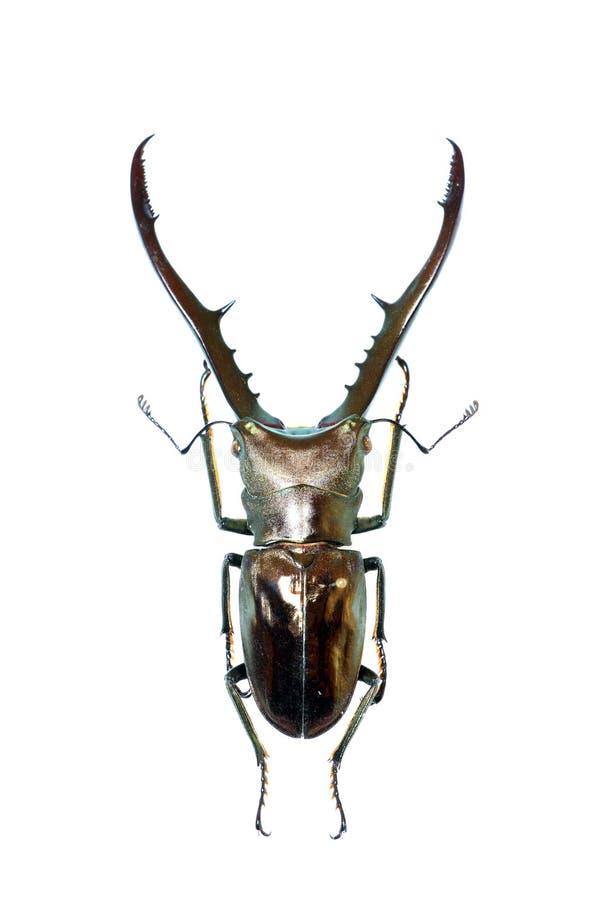 Macho-escarabajo aislado imágenes de archivo libres de regalías