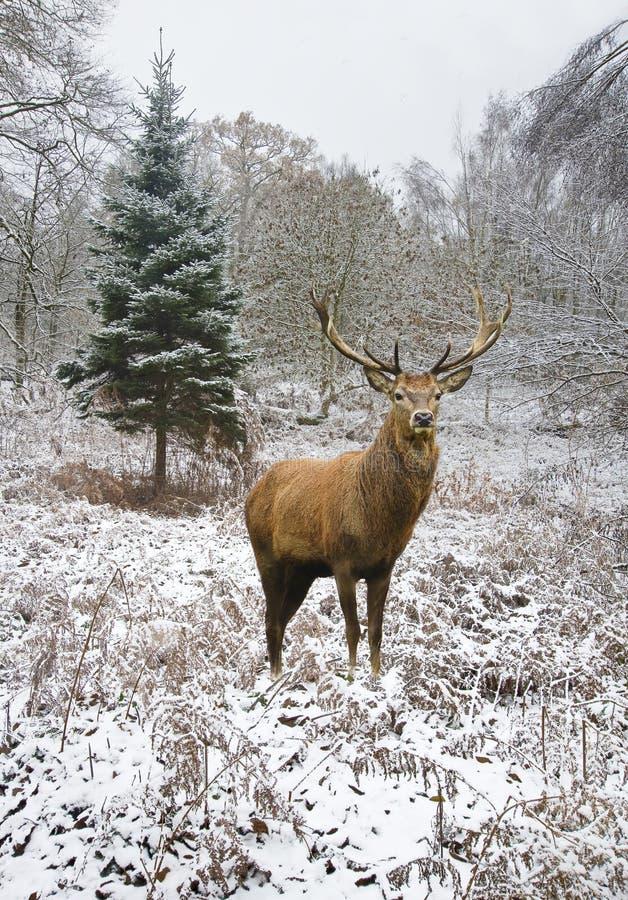 Macho hermoso de los ciervos comunes en el invierno festivo nevado FO de la estación fotos de archivo libres de regalías