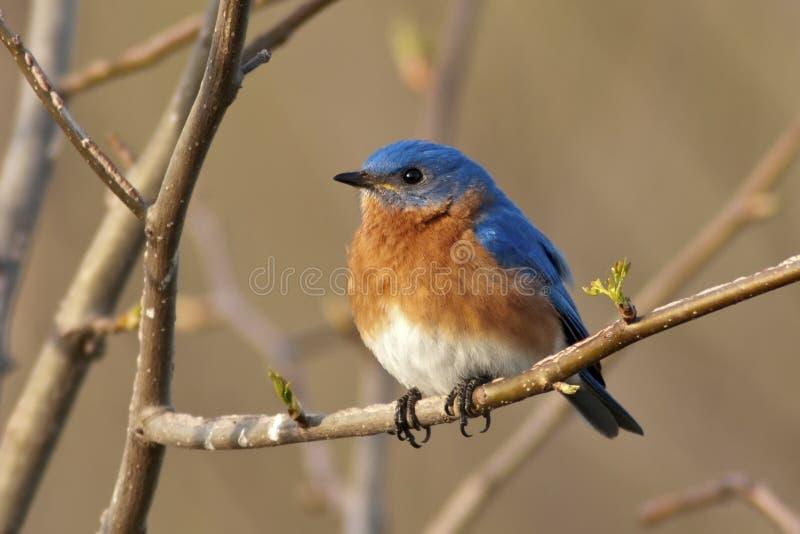 Macho oriental do Bluebird foto de stock