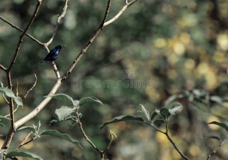Macho roxo de Sunbird imagens de stock