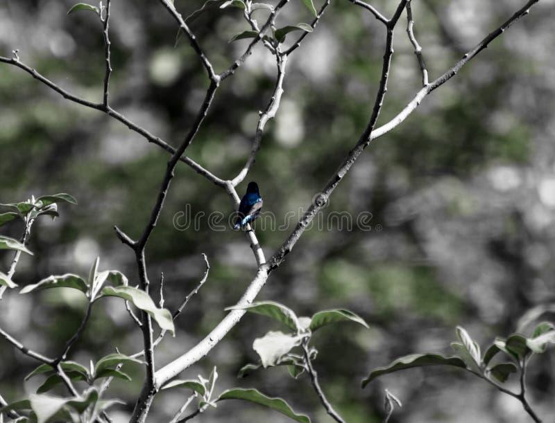 Macho roxo de Sunbird fotos de stock