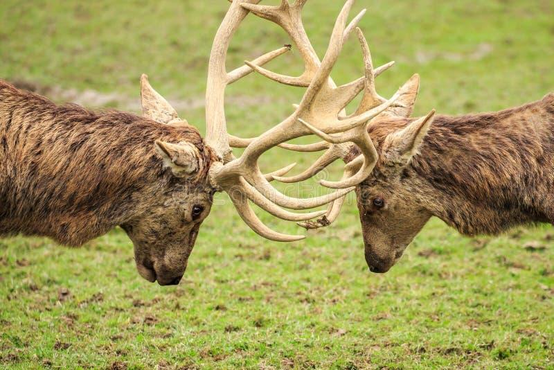 Machos de los ciervos comunes que cierran los cuernos fotografía de archivo