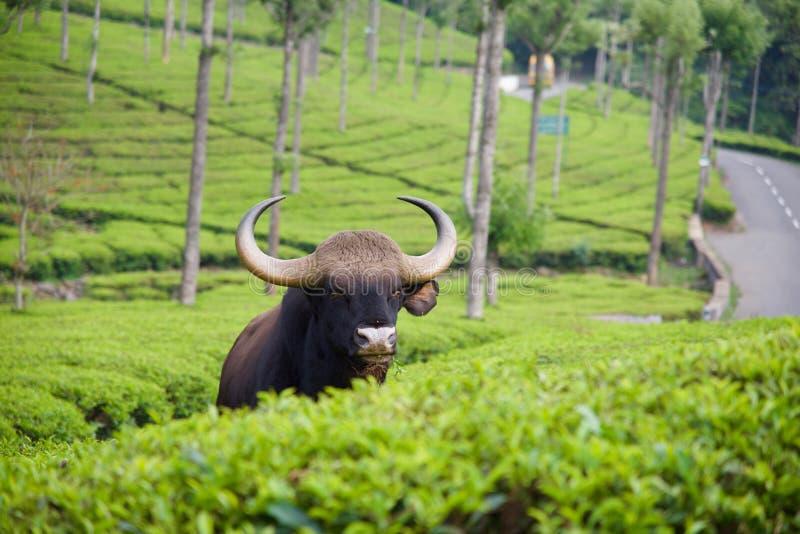 Machtige Indische Gaur stock foto's