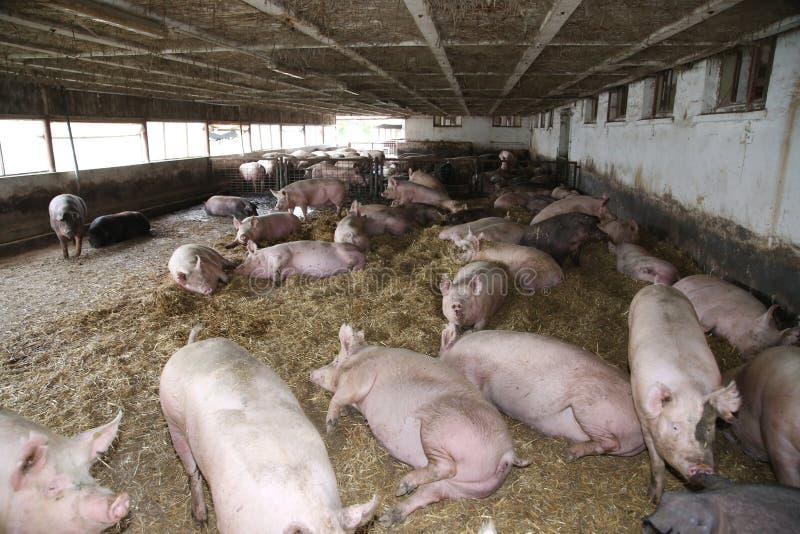 Machtige varkenszeugen die of in een stro gevulde bijlage leggen slapen royalty-vrije stock fotografie