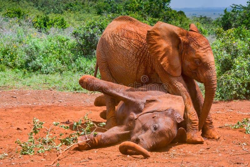 Machtkampf zwischen afrikanischen Elefantenkälbern lizenzfreie stockfotografie