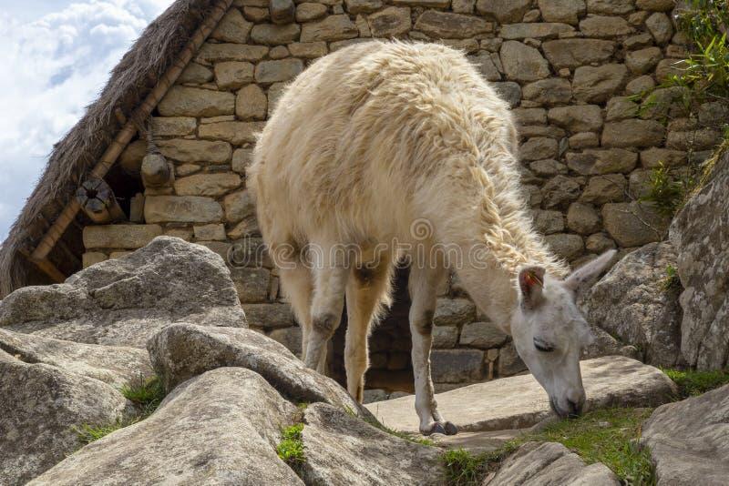 Machu Picchu, Перу - лама в руинах стоковое изображение rf