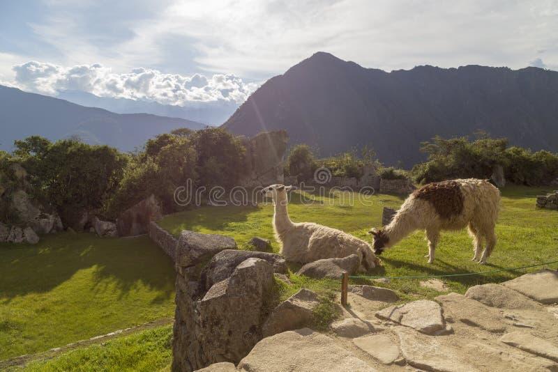 Machu Picchu, Перу - лама в руинах стоковое изображение