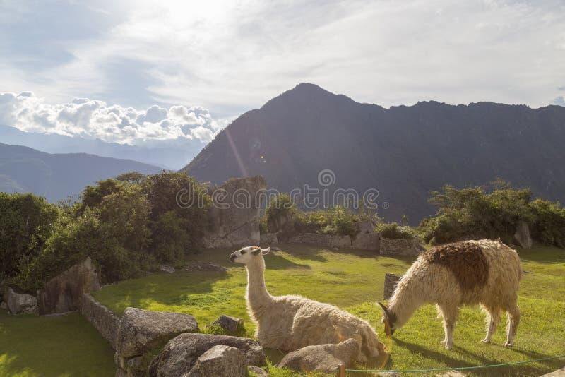 Machu Picchu, Перу - лама в руинах стоковые фотографии rf