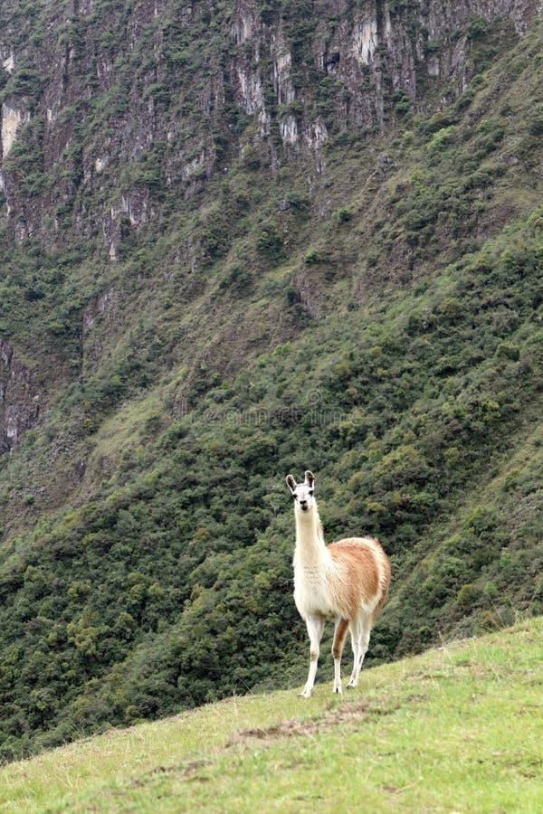 Machu Picchu Peru Llama royalty free stock photo
