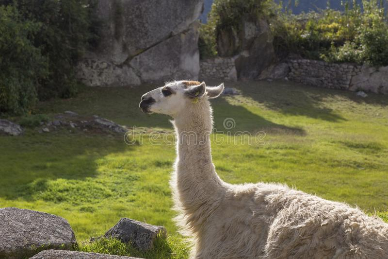 Machu Picchu, Peru - llama in ruins. Background, cusco, tree, cloud, forest, culture, america, landmark, civilization, mist, mystery, urubamba, landscape stock images