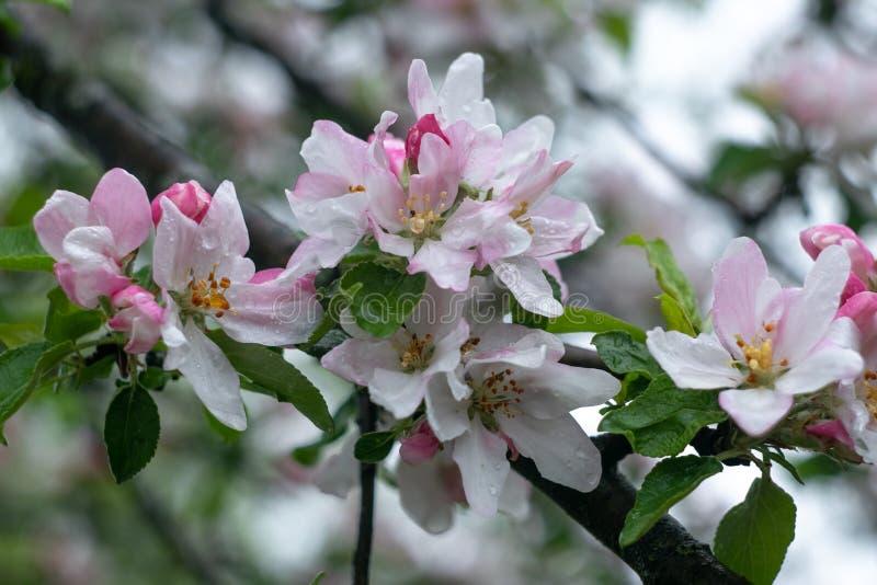 macieira Fundo floral Flor, flor Ramo da árvore de frutos Cartão de primavera, tempo de projeção foto de stock