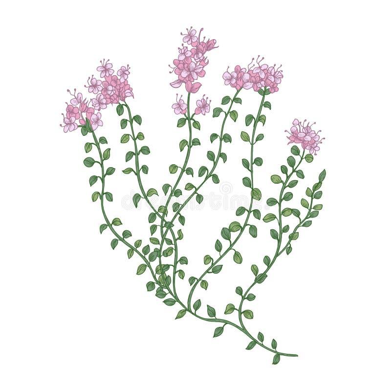 Macierzanka kwiatostany lub Szczegółowy rysunek dzika odwiecznie zielna roślina używać ilustracja wektor