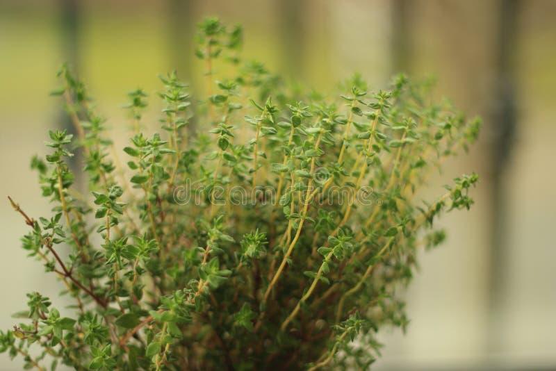 Macierzanka leczniczy ziele używać jako karmowy składnik zdjęcie stock