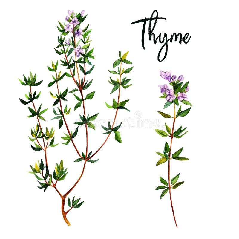 Macierzanka rozgałęzia się z kwiatami, watercolour ilustracja ilustracja wektor