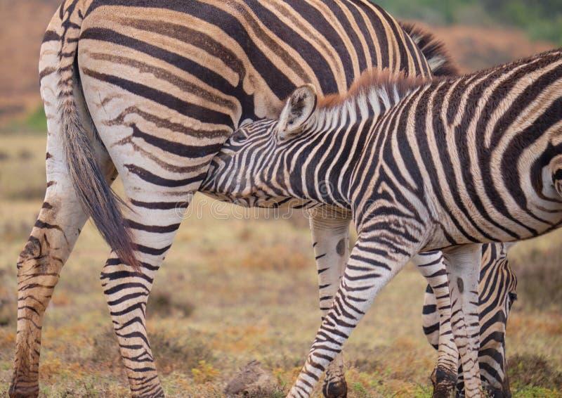 macierzysta dziecko zebra zdjęcie royalty free