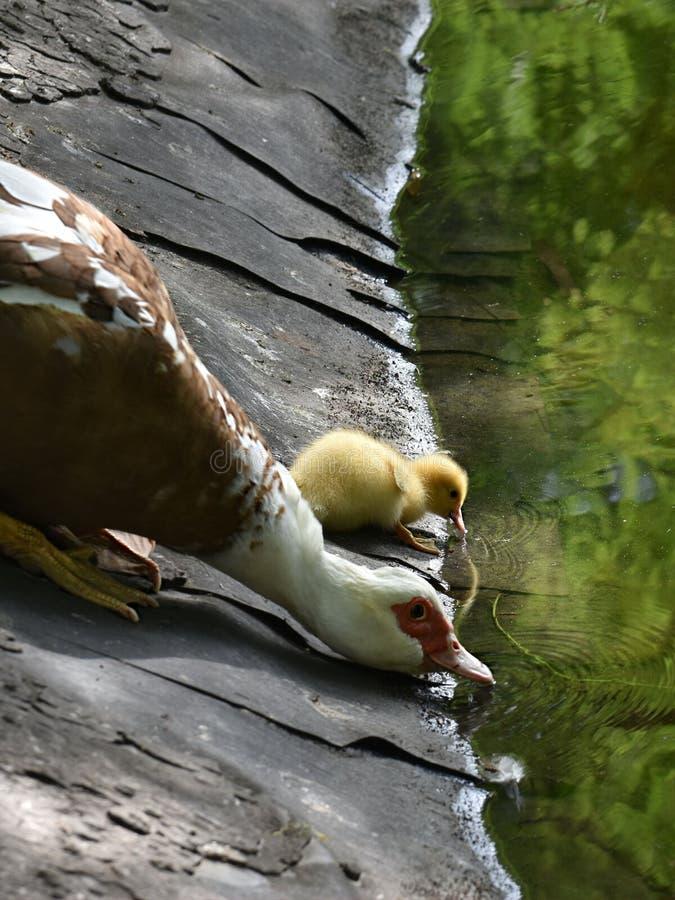 Macierzysta kaczka i mała kaczątko woda pitna zdjęcia royalty free