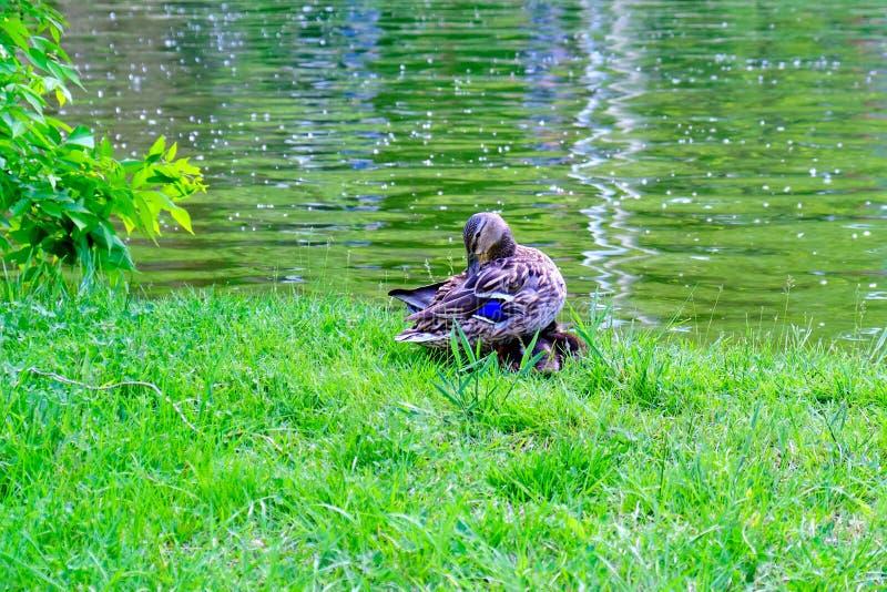 Macierzysta kaczka preening swój piórka przy krawędzią jezioro podczas gdy swój dwa dzieci kaczek sen wygodny poniższy ona skrzyd fotografia royalty free