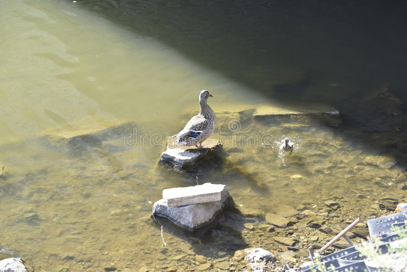 Macierzysta kaczka z kaczątkiem obraz stock