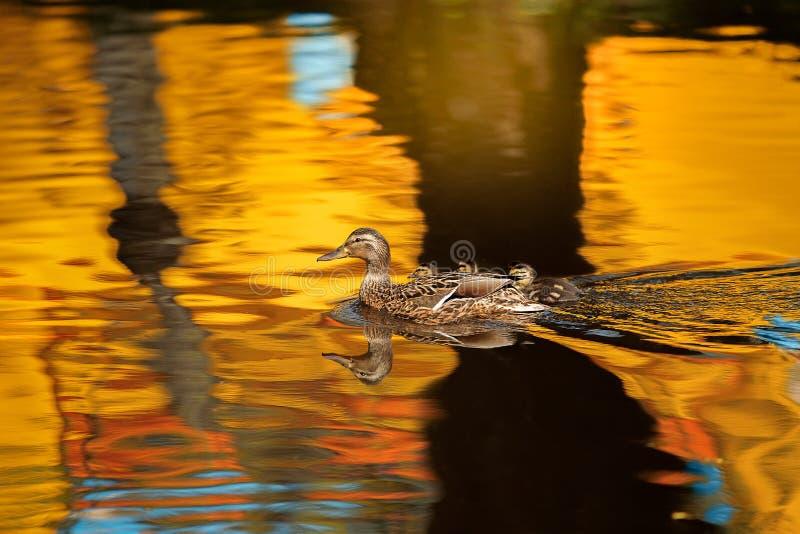 Macierzysta kaczki mallard kaczka, anas platyrhynchos z kaczątkami zdjęcie stock