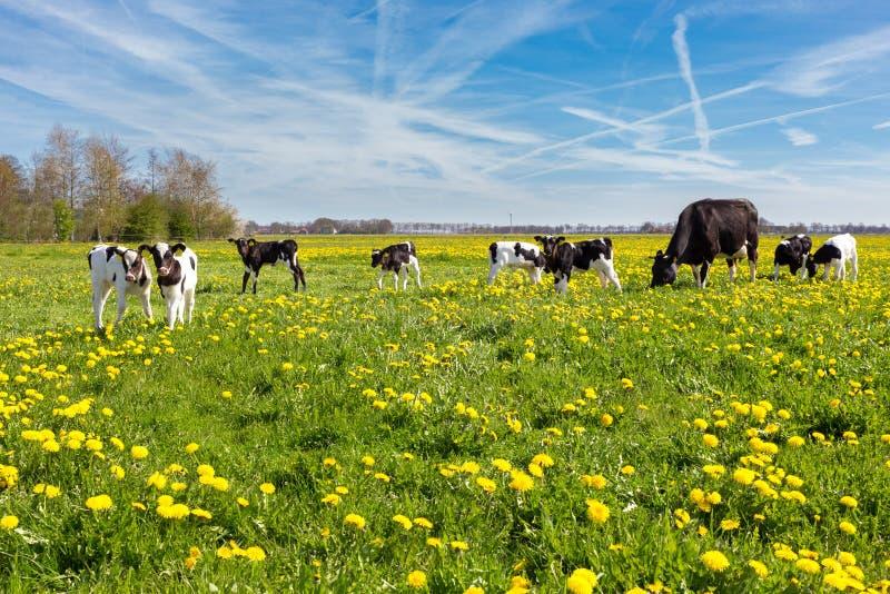 Macierzysta krowa z nowonarodzonymi łydkami w łące z żółtymi dandelions obrazy royalty free