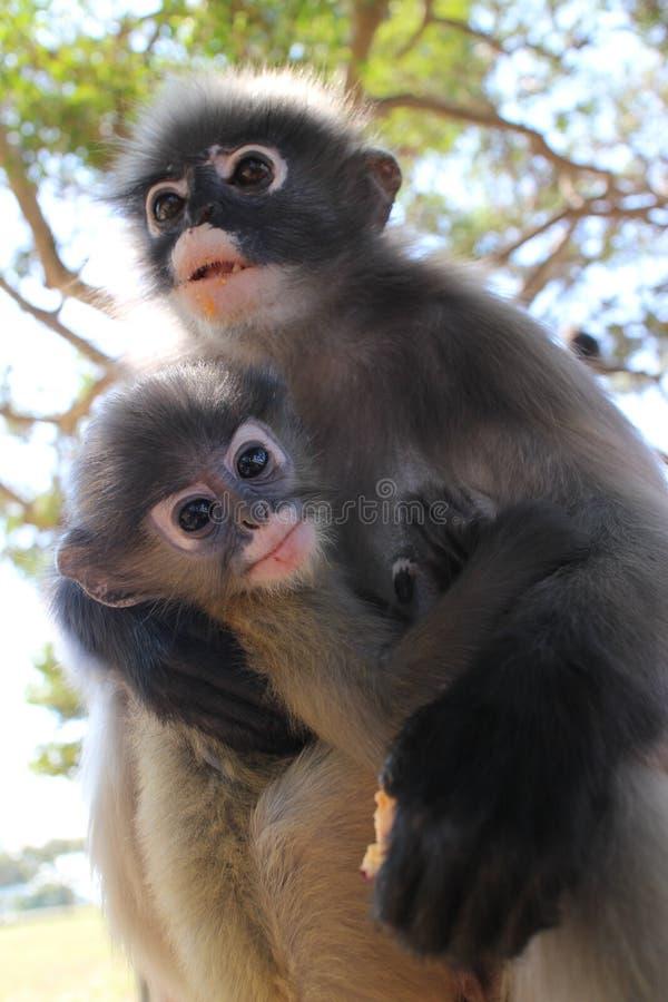 Macierzysta Langur prymasu małpa z młodzienem, skanuje otoczenia dla przyjaciel i wróg zdjęcia royalty free