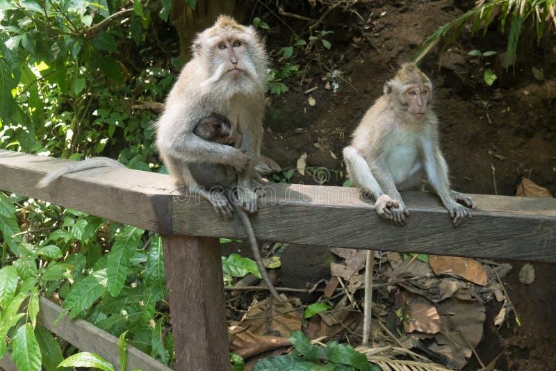 Macierzysta małpa z jej dzieckiem zdjęcie stock