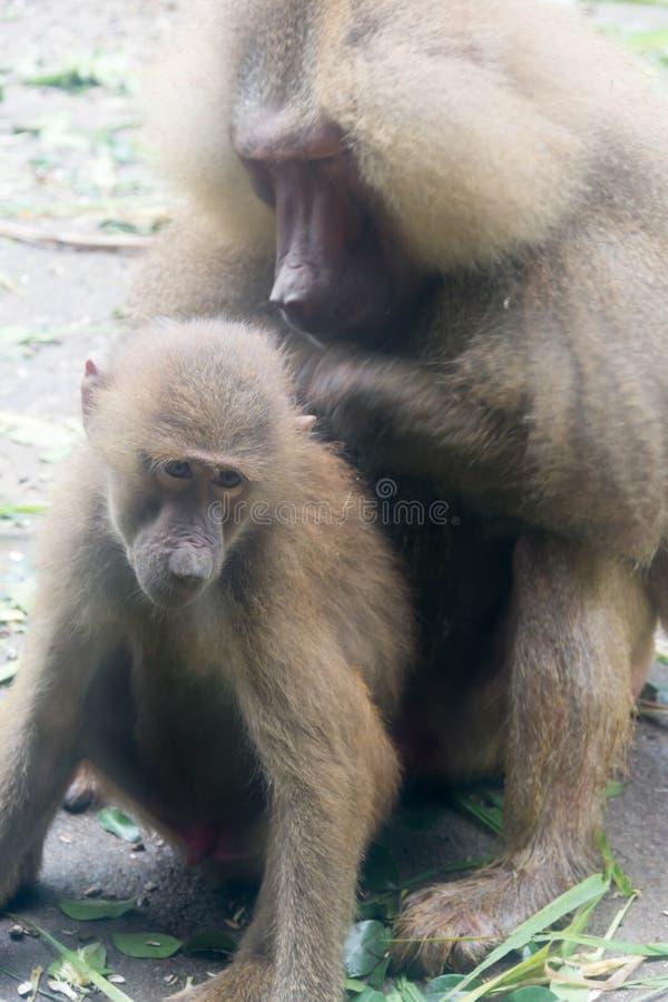 Macierzysta Małpia pawian pielęgnacja, czułość i jej dziecko Małpuje obrazy stock