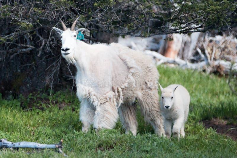 Macierzysta niania i dziecko żartujemy halne kózki na Huraganowej grani w Olimpijskim parku narodowym w stan washington usa zdjęcia stock