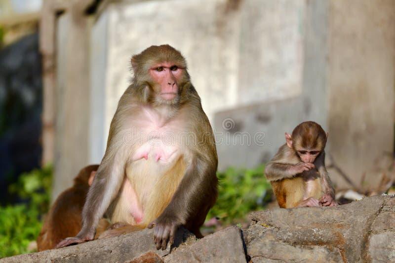 Macierzysta Rhesus makaka małpa pielęgnuje swój dziecka zdjęcia stock