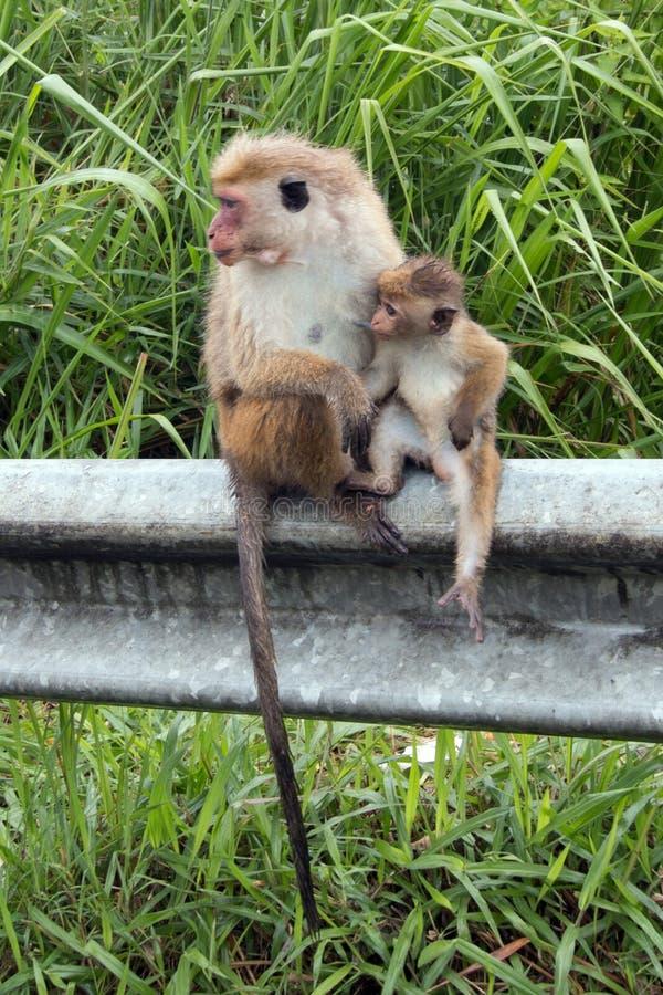 Macierzysta Toque makaka małpa pielęgnuje jej dziecka przy poboczem w z prowincji Sri Lanka obrazy stock