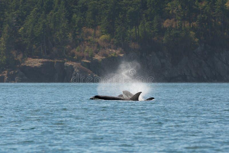 Macierzyste Cubs orki zdjęcia royalty free
