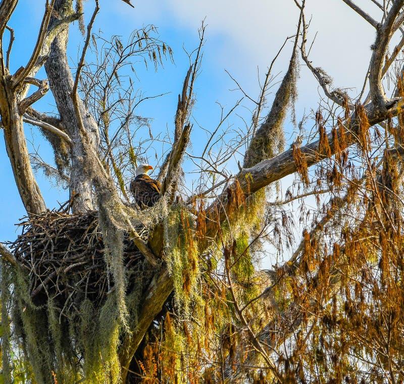 Macierzysty Eagle Pozuje w jej gniazdeczku obraz royalty free