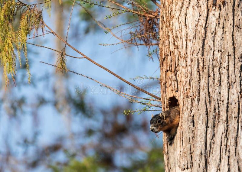 Macierzysty Fox wiewiórki Sciurus Niger ono przygląda się z swój gniazdeczka robić od dziury w drzewie zdjęcia stock
