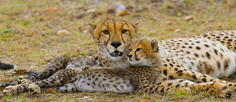 Macierzysty gepard i jej lisiątko w sawannie Kenja Tanzania africa Park Narodowy kmieć Maasai Mara fotografia stock
