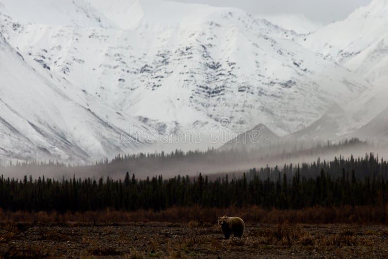 Macierzysty grizzly niedźwiedź w Rzecznej dolinie Z Śnieżnymi górami zdjęcie stock