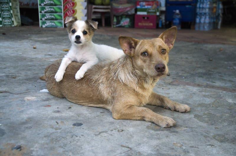 Macierzysty i jej szczeniaku w Hoi, Wietnam zdjęcia royalty free