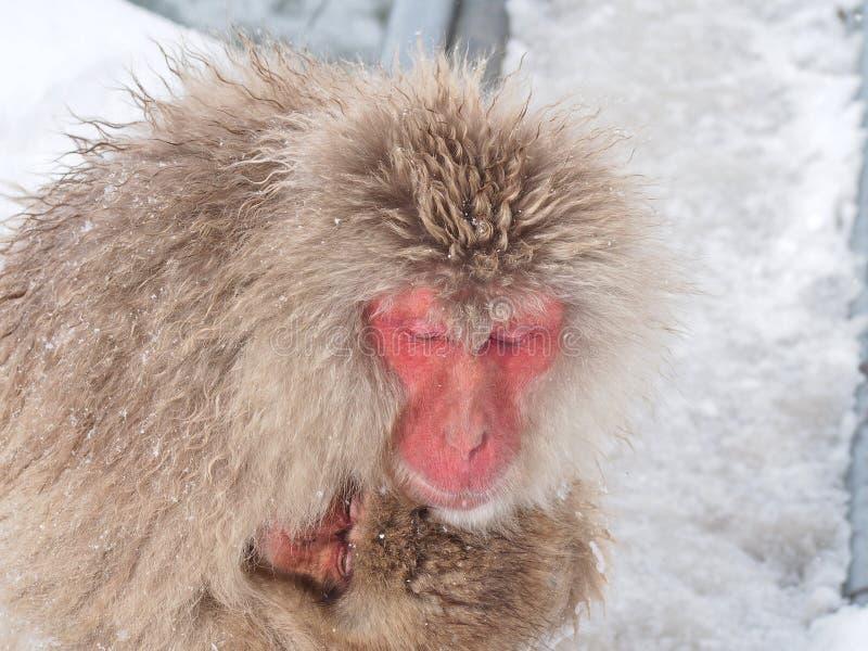 Macierzysty Japoński makaka ` śniegu małpy ` cuddling jej dziecka w zimnie obraz stock