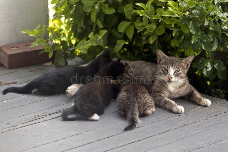 Macierzysty kot i figlarki zdjęcia stock