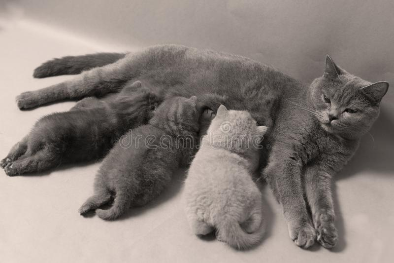 Macierzysty kot karmi ona figlarki, biały tło obraz royalty free