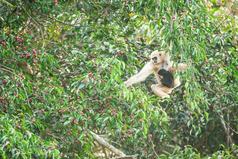 Macierzysty Lar Gibbon lub Wręczający Gibbon z dziecka karmieniem na figi drzewie, kolorowe dojrzałe owoc figa w sezonie Khao Yai fotografia royalty free