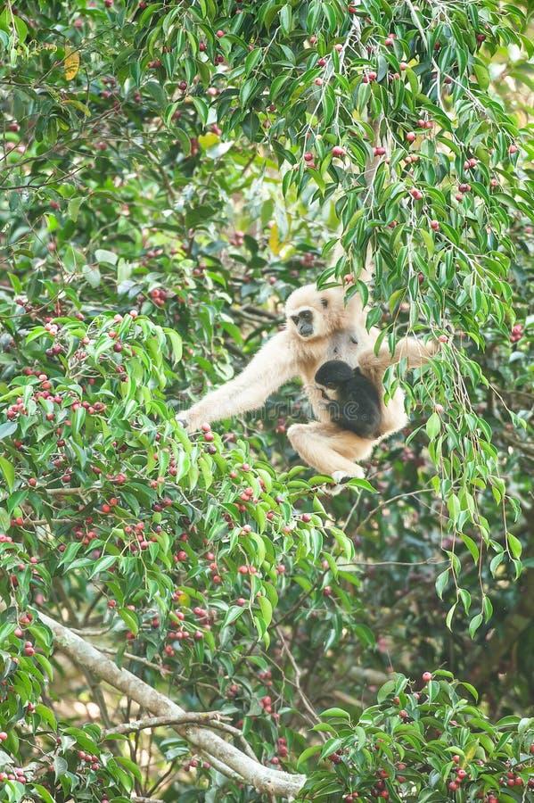 Macierzysty Lar Gibbon lub Wręczający Gibbon z dziecka karmieniem na figi drzewie, kolorowe dojrzałe owoc figa w sezonie Khao Yai obrazy royalty free