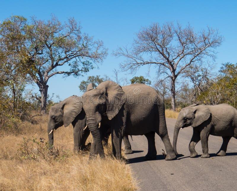Macierzysty słoń z dziećmi w Kruger parku narodowym obrazy royalty free