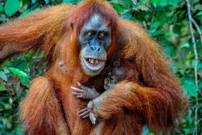 Macierzysty Sumatran Orangutan z dzieckiem pokazuje jej zęby z złością obrazy stock