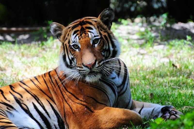 Macio-olhando o tigre fotos de stock