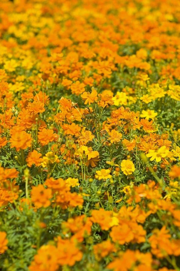Macizo de flores anaranjado imagen de archivo libre de regalías